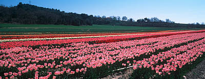 Cote Dazur Photograph - Tulip Farm, Provence-alpes-cote Dazur by Panoramic Images