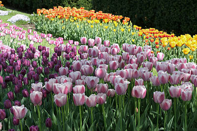 Photograph - Tulip Rainbow 5 by Allen Beatty