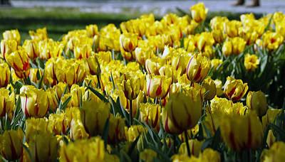 Tulip Photograph - Tulip by Ugur Ugurlu