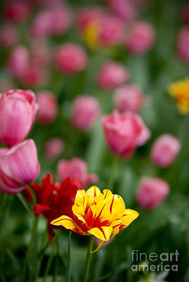 Vibrant Color Photograph - Tulips by Amy Cicconi