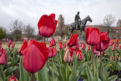 Photograph - Tulips At Texas Tech University by Melany Sarafis