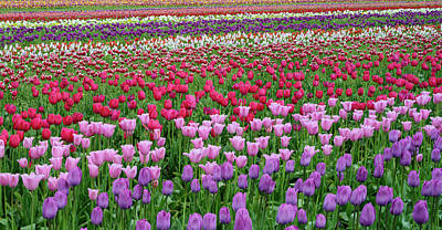 Tulips At Wooden Shoe Tulip Farm Art Print by Panoramic Images