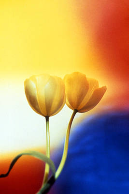 Photograph - Tulips  by Etti PALITZ