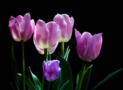 Buy Tulips Photograph - Tulips In The Light Purple Pink And White by Wendy Thompson