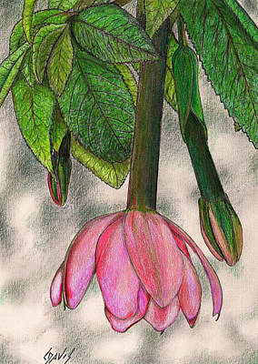 Fruit Colored Pencil Drawing Drawing - Tumbo Blossom by Lew Davis