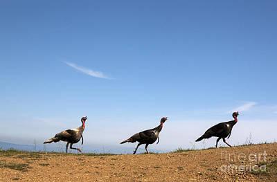 Turkey Stroll Art Print by Juan Romagosa