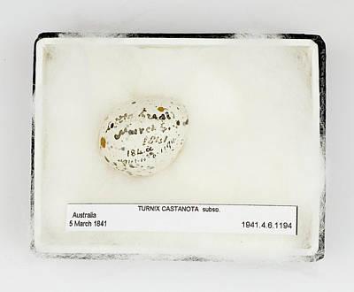 Gilbert Photograph - Turnix Castanota Egg by Natural History Museum, London