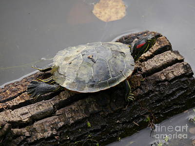 Slider Photograph - Turtle On A Log by Jane Ford