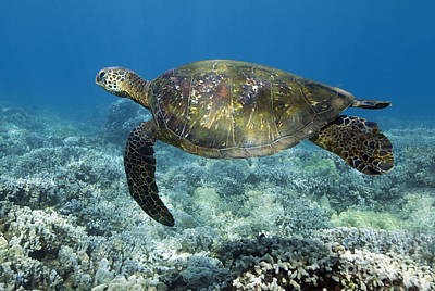 Photograph - Turtle Time by David Olsen