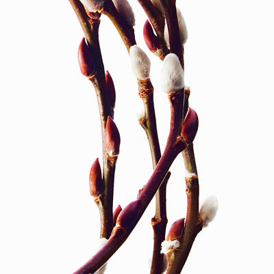 Photograph - Twigs Of Budding Flowering Shrubs by Mint Images/ David Arky