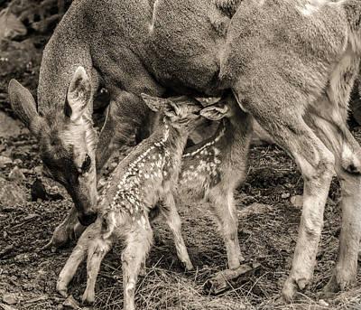 Nursing Deer Photograph - Twins by Scott Wickward