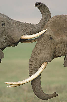 Two African Elephants Fighting Art Print by Panoramic Images