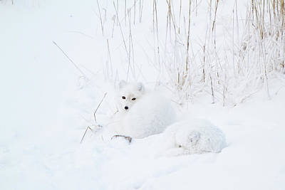 Arctic Fox Photograph - Two Arctic Foxes Alopex Lagopus by Panoramic Images