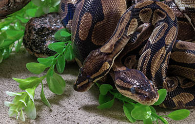 Captive Animal Photograph - Two Burmese Pythons Python Bivittatus by Panoramic Images