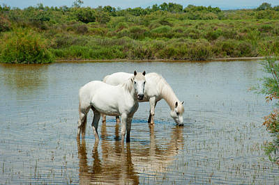 Two Camargue White Horses In A Lagoon Art Print by Panoramic Images