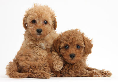Toy Poodle Photograph - Two Cute Red Toy Poodle Puppies by Mark Taylor
