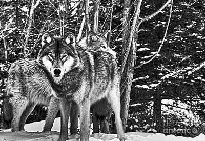 Photograph - Two Gray Wolves by Les Palenik