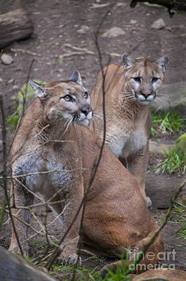 Portland Photograph - Two Mountain Lions by Mandy Judson