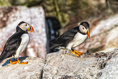 Photograph - Two Puffins by Perla Copernik