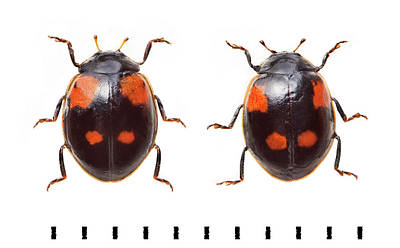 Two-spot Ladybird Print by Natural History Museum, London