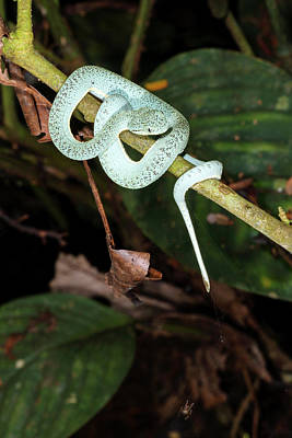 Neotropical Photograph - Two-striped Forest Pitviper by Dr Morley Read