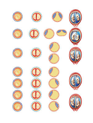 Types Of Twin Art Print by Asklepios Medical Atlas