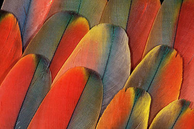 Scarlet Macaw Photograph - Underside Wing Coloration by Darrell Gulin