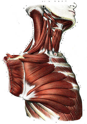 Upper Body Muscles Print by Collection Abecasis