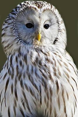Ural Owl Art Print by Paulette Thomas