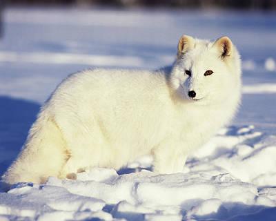 Alaska Photograph - Usa, Alaska Arctic Fox In Winter Coat by Jaynes Gallery