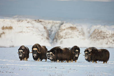 Usa, Alaska, Arctic National Wildlife Art Print by Hugh Rose
