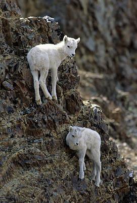 Usa, Alaska, Dall Sheep, Dall Lamb Art Print