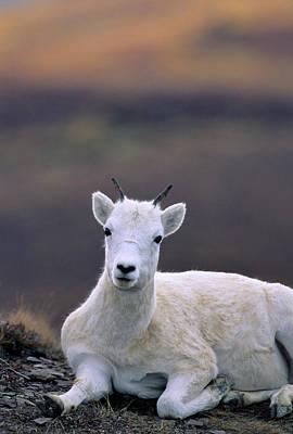 Usa, Alaska, Dall Sheep, Ewe, Denali Art Print by Gerry Reynolds
