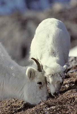 Usa, Alaska, Dall Sheep, Ewe, Ewe Art Print
