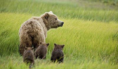 Brown Bear Photograph - Usa, Alaska, Lake Clark National Park by Jaynes Gallery