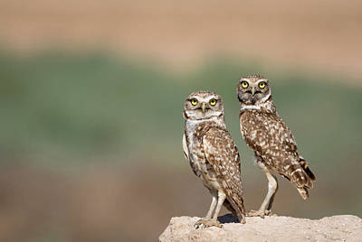 Burrowing Owl Photograph - Usa, Arizona, Buckeye by Jaynes Gallery