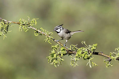 Titmouse Photograph - Usa, Arizona, Santa Rita Mountains by Jaynes Gallery