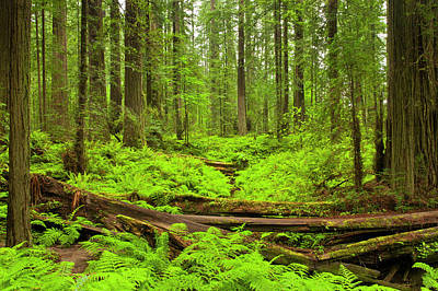 Bracken Fern Photograph - Usa, California, Humboldt Redwoods by Jaynes Gallery