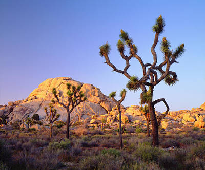 Usa, California, Joshua Tree National Print by Jaynes Gallery