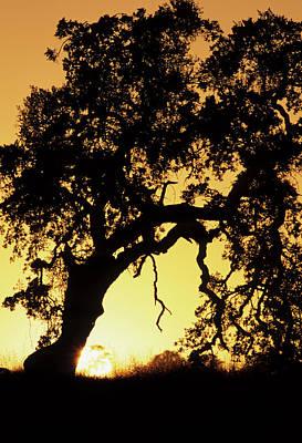 Usa, California, Oak Tree, Sunset Art Print