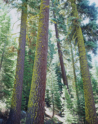 Usa, California Old-growth Red Fir Art Print by Jaynes Gallery