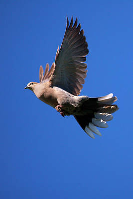 Mourning Dove Photograph - Usa, California, San Diego, Lakeside by Jaynes Gallery