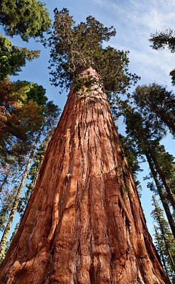 Sequoiadendron Giganteum Photograph - Usa, California, Sequoia National Park by Ann Collins