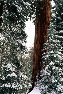 Usa, California, Sequoia National Park Art Print by Inger Hogstrom