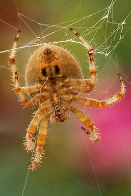 Orb Weaver Spider Photograph - Usa, Colorado, Jefferson County by Jaynes Gallery