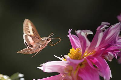 Usa, Colorado White-lined Sphinx Moth Art Print by Jaynes Gallery