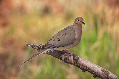 Mourning Dove Photograph - Usa, Colorado, Woodland Park by Jaynes Gallery