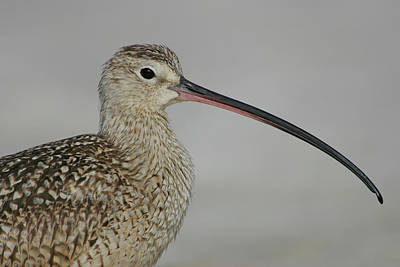 Long-billed Curlew Photograph - Usa, Florida, De Soto by Jaynes Gallery
