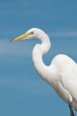 Southern States Photograph - Usa, Florida Great Egret (ardea Alba by Michael Defreitas