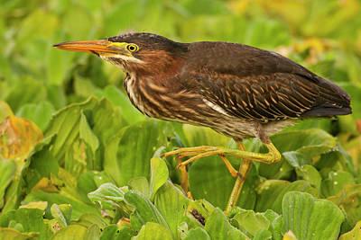 Green Heron Photograph - Usa, Florida, Palm Beach County by Jaynes Gallery